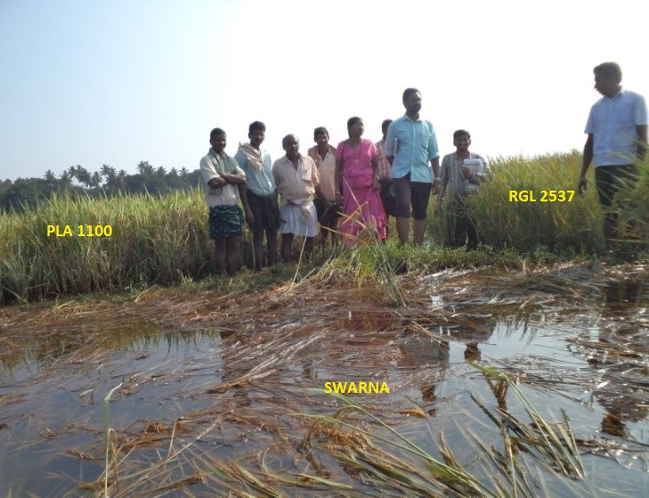 Performance of different paddy varieties