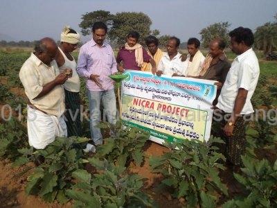Demonstration of WOTA T traps in brinjal against fruit and Shoot borar.JPG