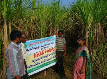 Mitigate with flood and drought with sugarcane